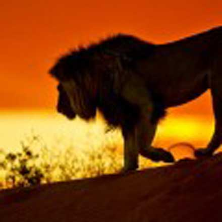 Africa:  Lion- Ghost of the Kalahari, an adventure...
